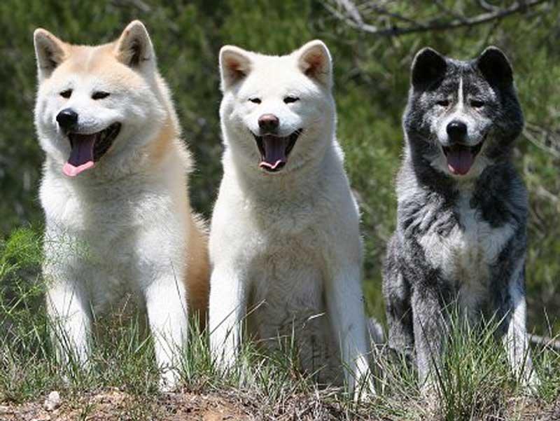 Окрасы японской собаки.