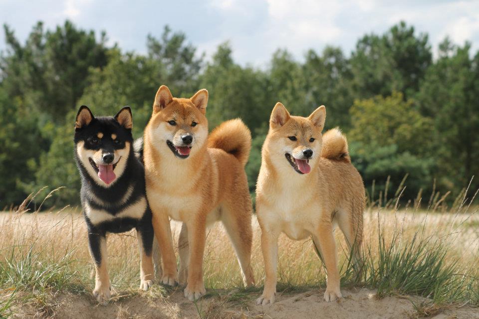 Окрасы чпонской породы собакшибы