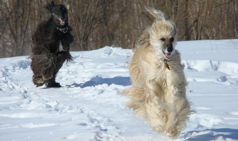 афган собака