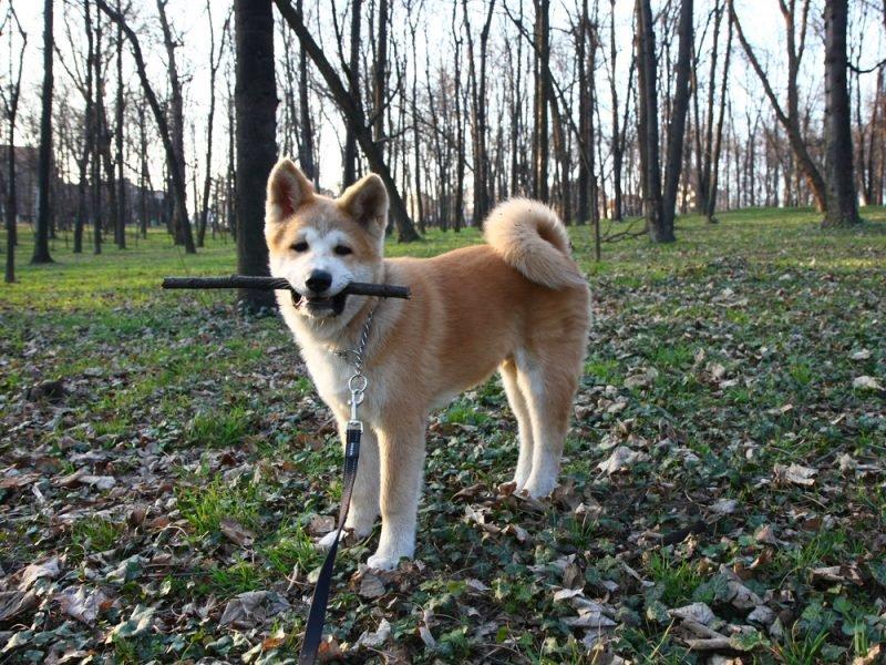 воспитание японской собаки по месяцам