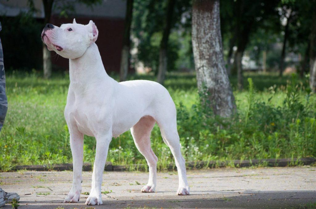 argentinskij dog harakter - Аргентинский дог: фото собаки, описание породы