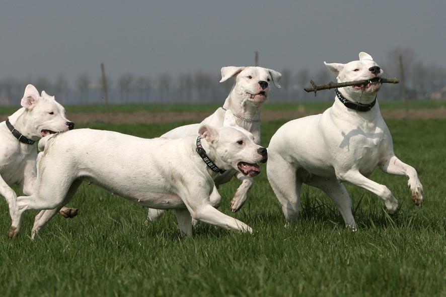 argentinskij dog primenenie - Аргентинский дог: фото собаки, описание породы
