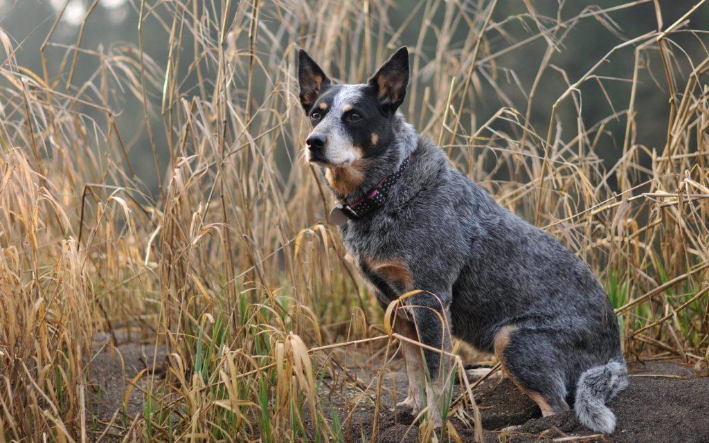 Порода собак бувье