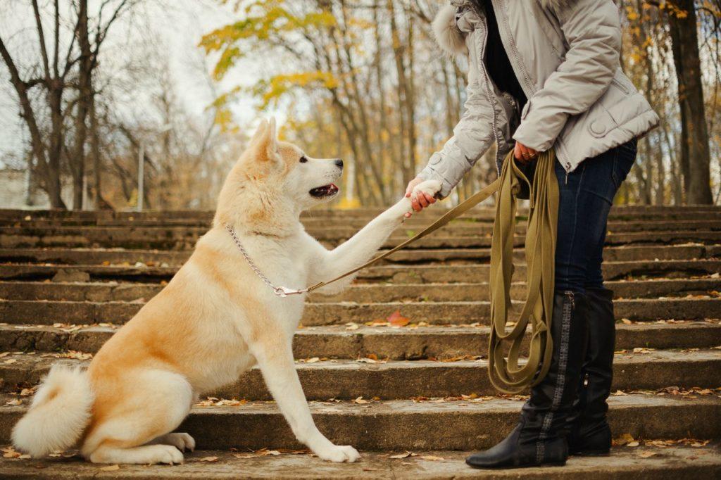 обучение щенка акиты командам