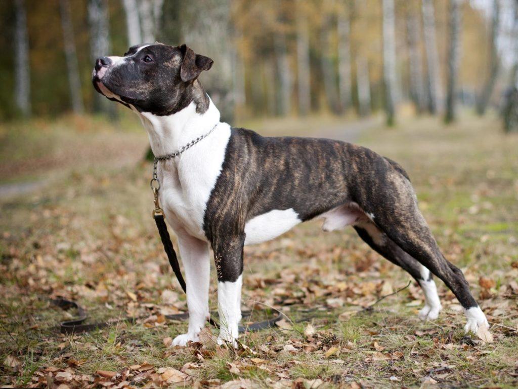 ливнем питбультерьер собака фото цена
