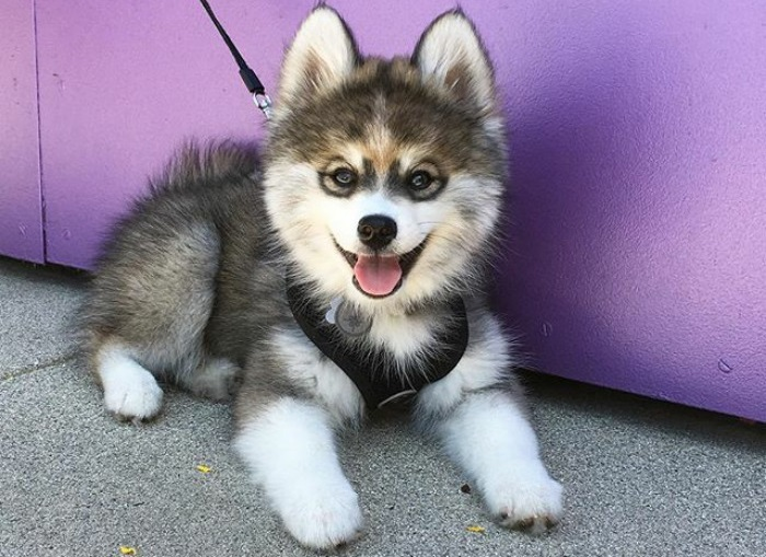 pomksi - Помски: фото собаки, описание породы
