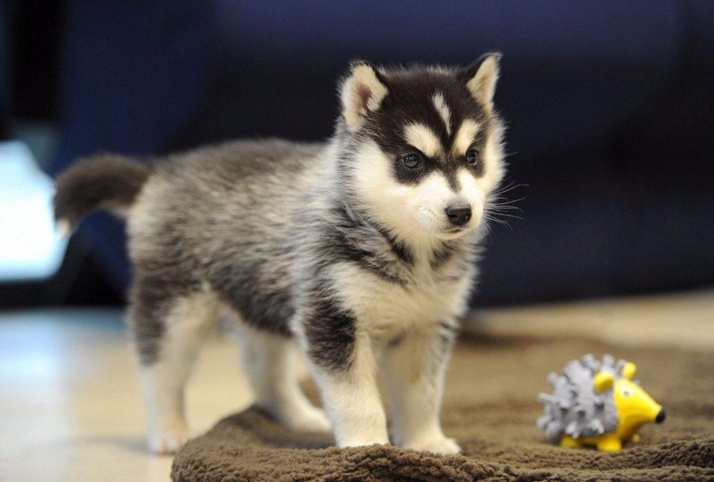 pomsai shhenok - Помски: фото собаки, описание породы