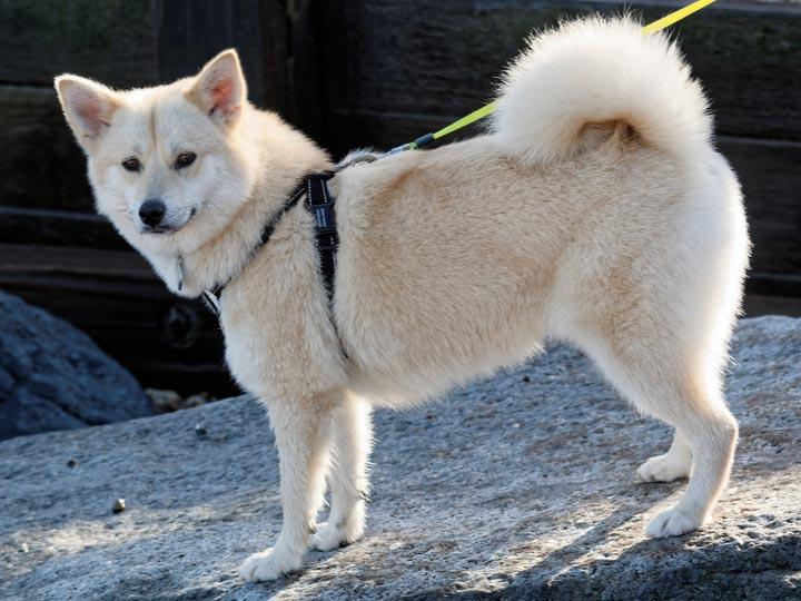 pomski belyj - Помски: фото собаки, описание породы