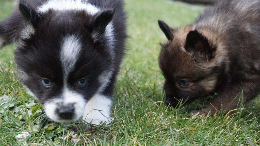 pomski3 - Помски: фото собаки, описание породы