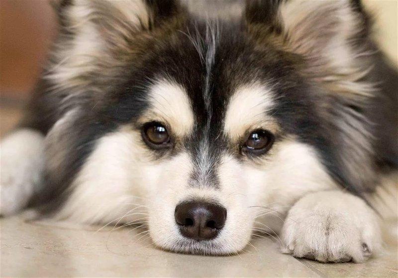 pomski5 - Помски: фото собаки, описание породы