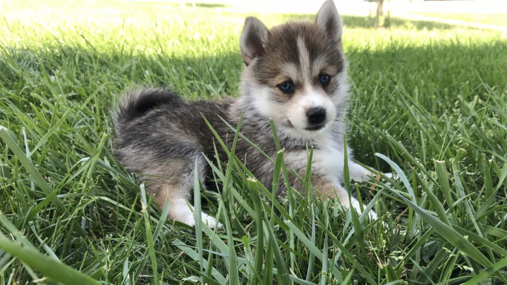 pomski6 - Помски: фото собаки, описание породы
