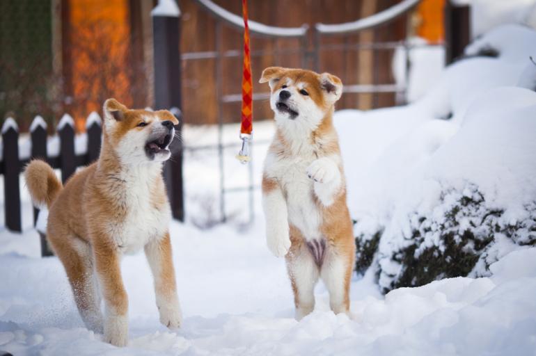 воспитание щенков японской акиты