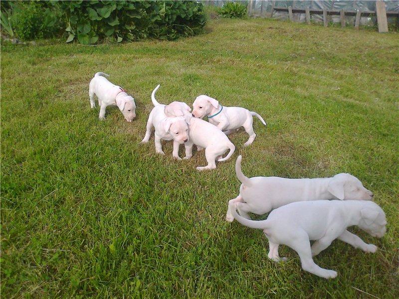 shhenki argentinskogo doga - Аргентинский дог: фото собаки, описание породы