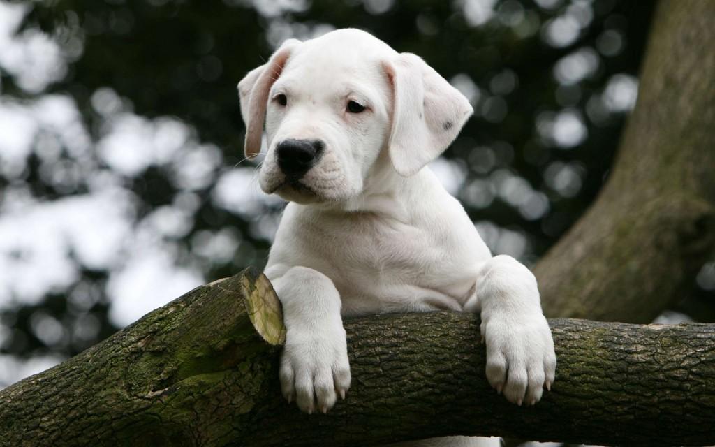 shhenok argentinskogo doga - Аргентинский дог: фото собаки, описание породы