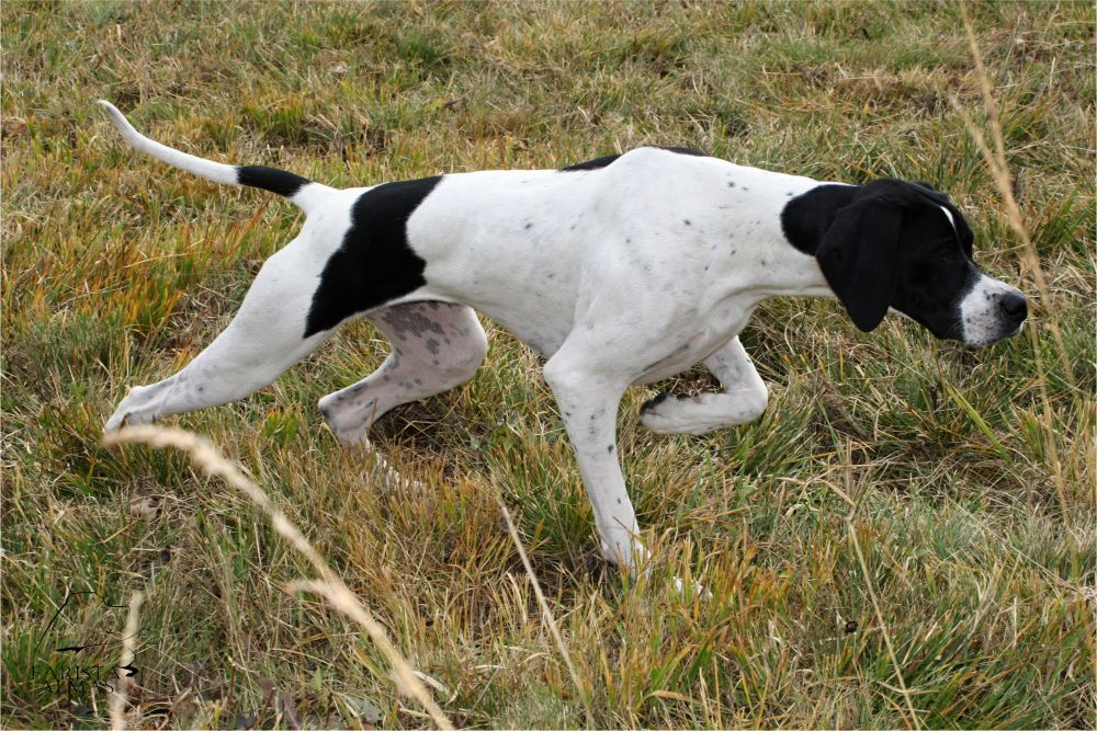 Anglijskij pojnter stojka - Английский пойнтер: фото и описание породы