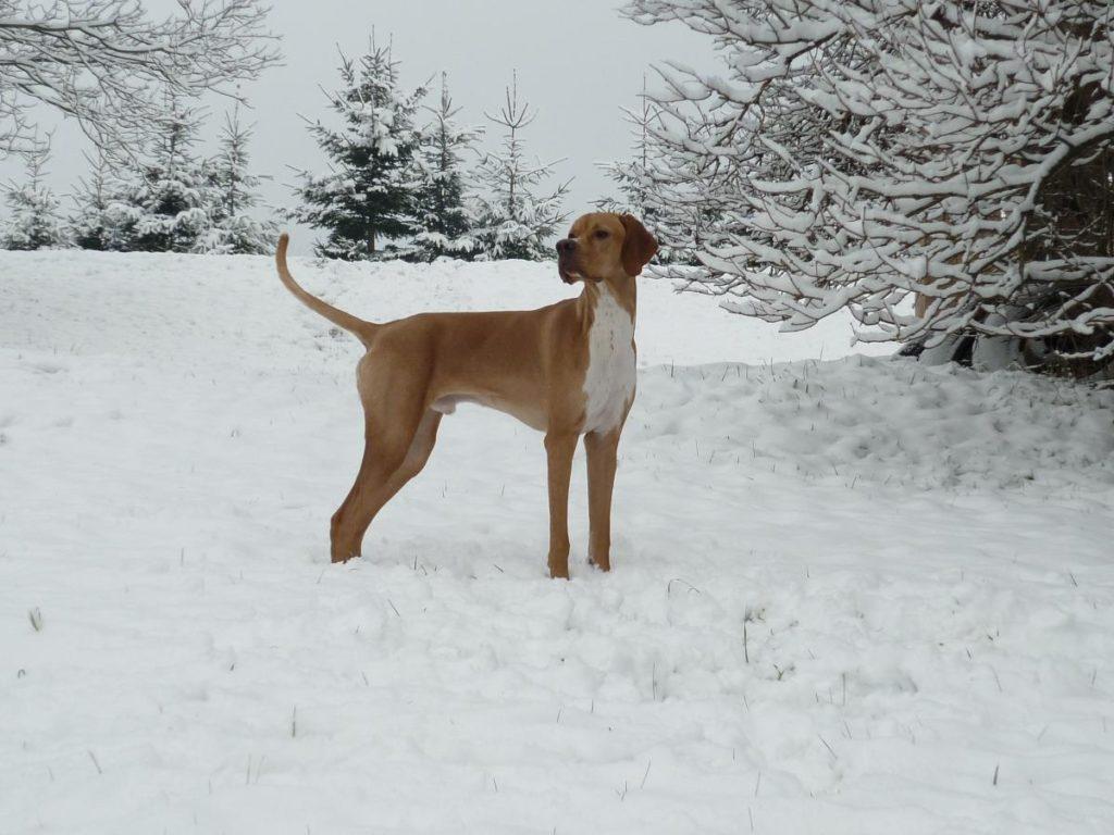 Anglijskij pojnter zimoj - Английский пойнтер: фото и описание породы