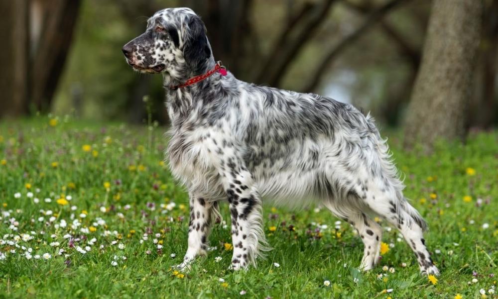 Anglijskij setter - Английский сеттер: фото собаки, описание породы