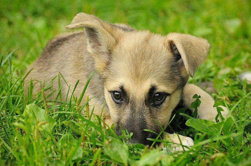 dvornyazhka - Лучшие собаки компаньоны: обзор с фото