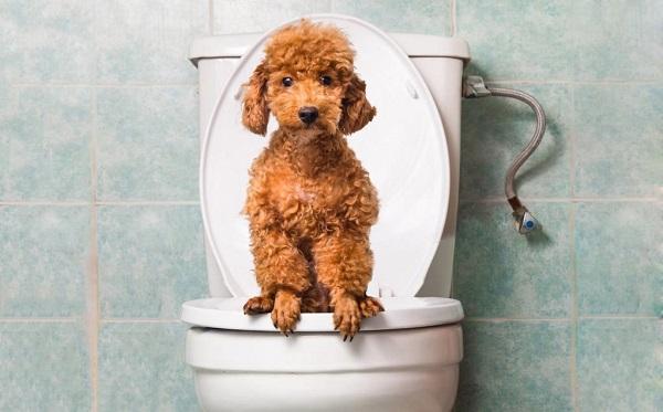 konstipatsiya - Запор у собаки: симптомы, что делать