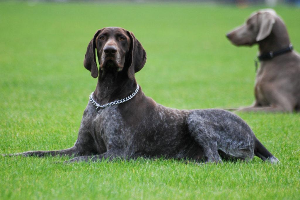 kurtshaar 2 - Порода собак курцхаар: фото и описание