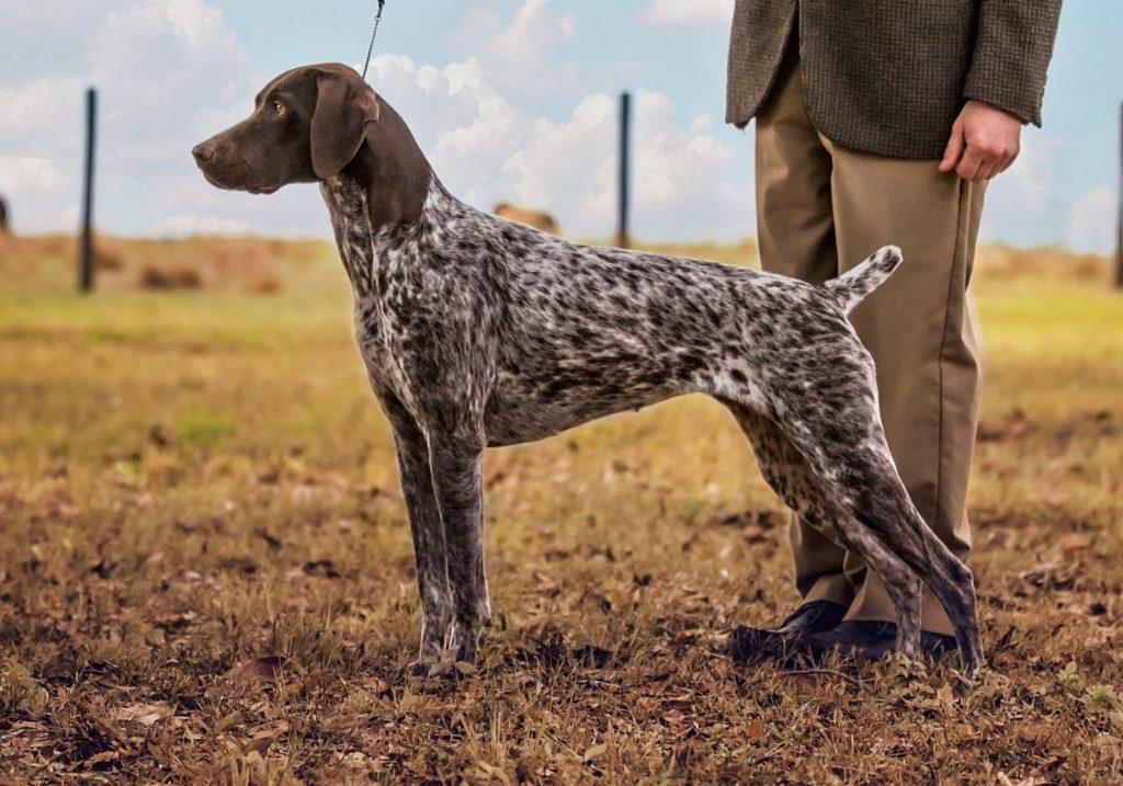 kurtshaar 5 - Порода собак курцхаар: фото и описание
