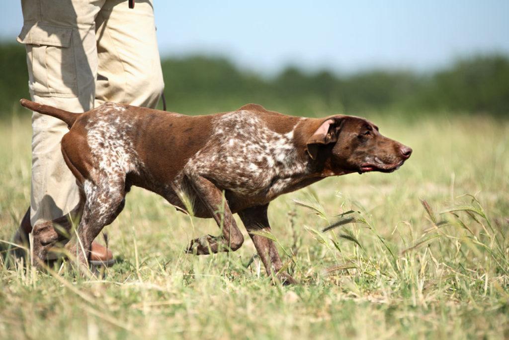 kurtshaar na ohote - Порода собак курцхаар: фото и описание