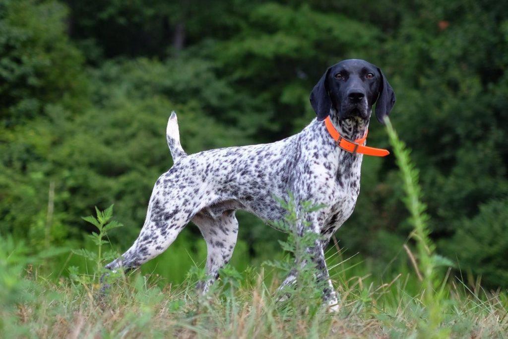 kurtshaar - Порода собак курцхаар: фото и описание