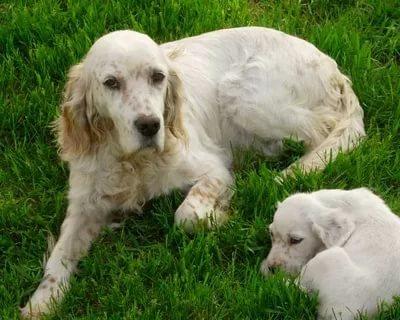 laverak so shhenkom - Английский сеттер: фото собаки, описание породы