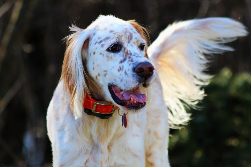 laverak vygul - Английский сеттер: фото собаки, описание породы