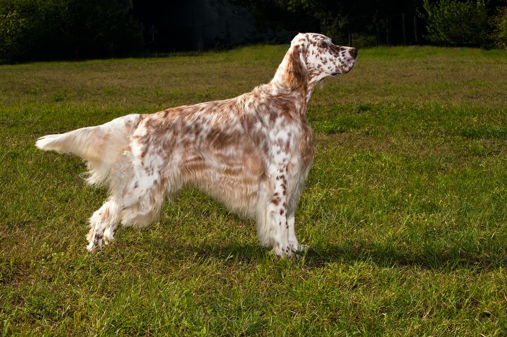 Собака лаверак