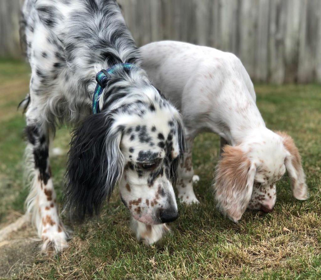 laverak6 1024x891 - Английский сеттер: фото собаки, описание породы