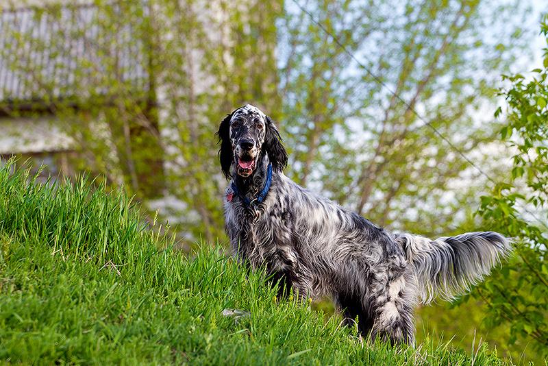 laverak7 - Английский сеттер: фото собаки, описание породы