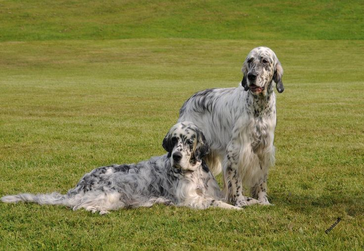 laveraki - Английский сеттер: фото собаки, описание породы