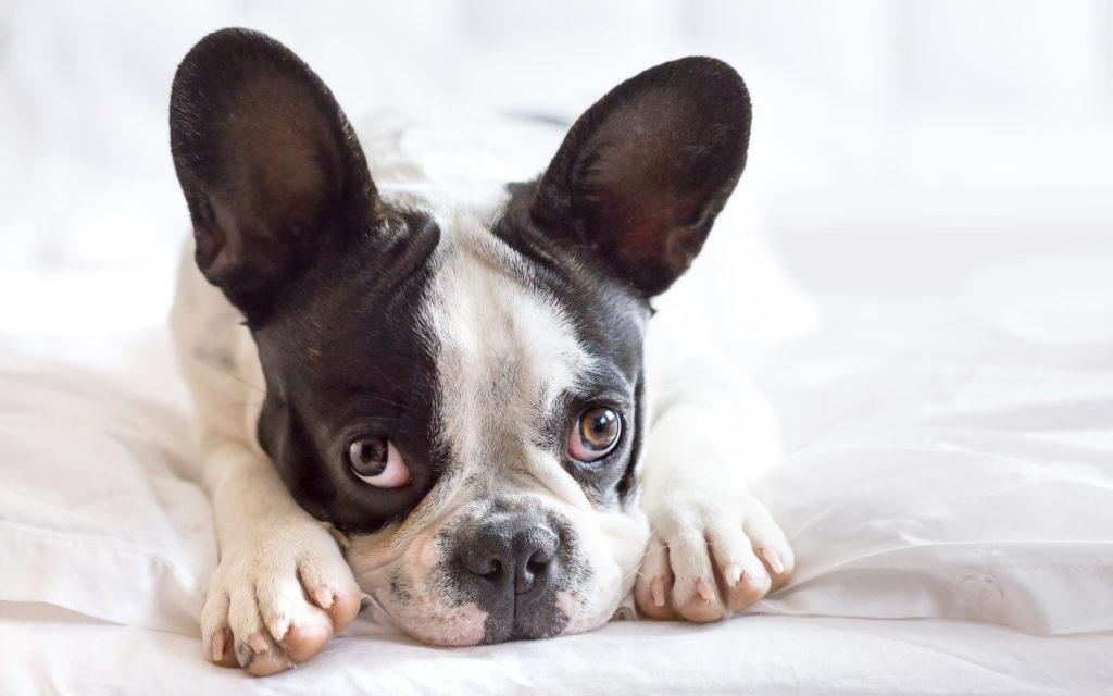 privivki shhenku - Прививки щенку французского бульдога