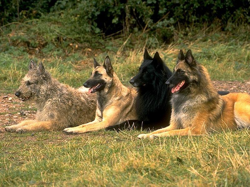 Belgijtsy 1 - Бельгийские овчарки: виды и фото собак
