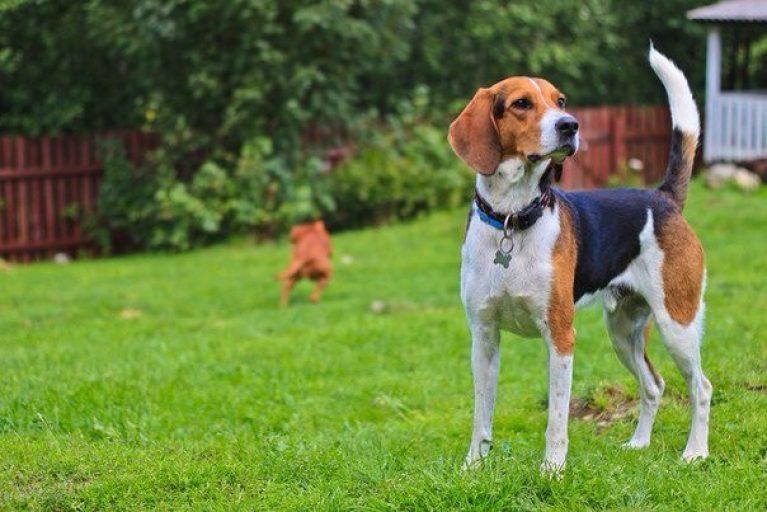 Foto estonskoj gonchej - Эстонская гончая и бигль: отличия и схожесть собак