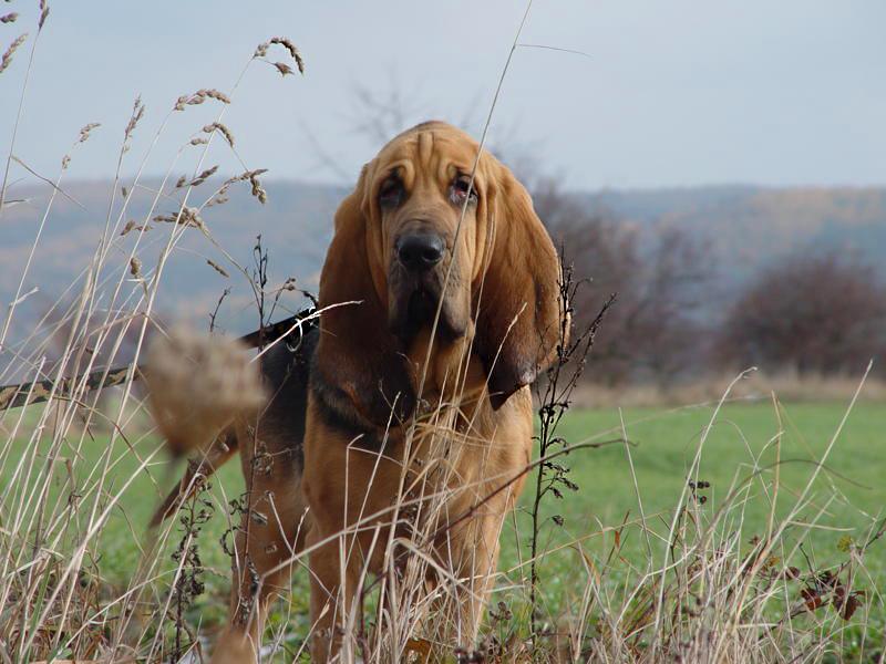 San Gubert 3 - Бладхаунд: фото собаки и описание породы