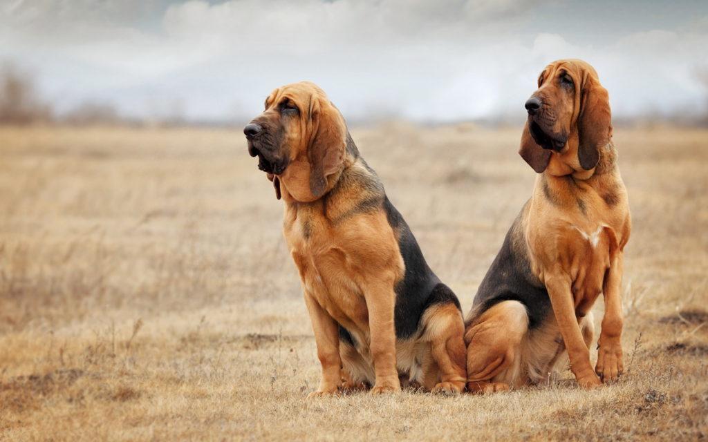 San Gubert 5 1024x640 - Бладхаунд: фото собаки и описание породы