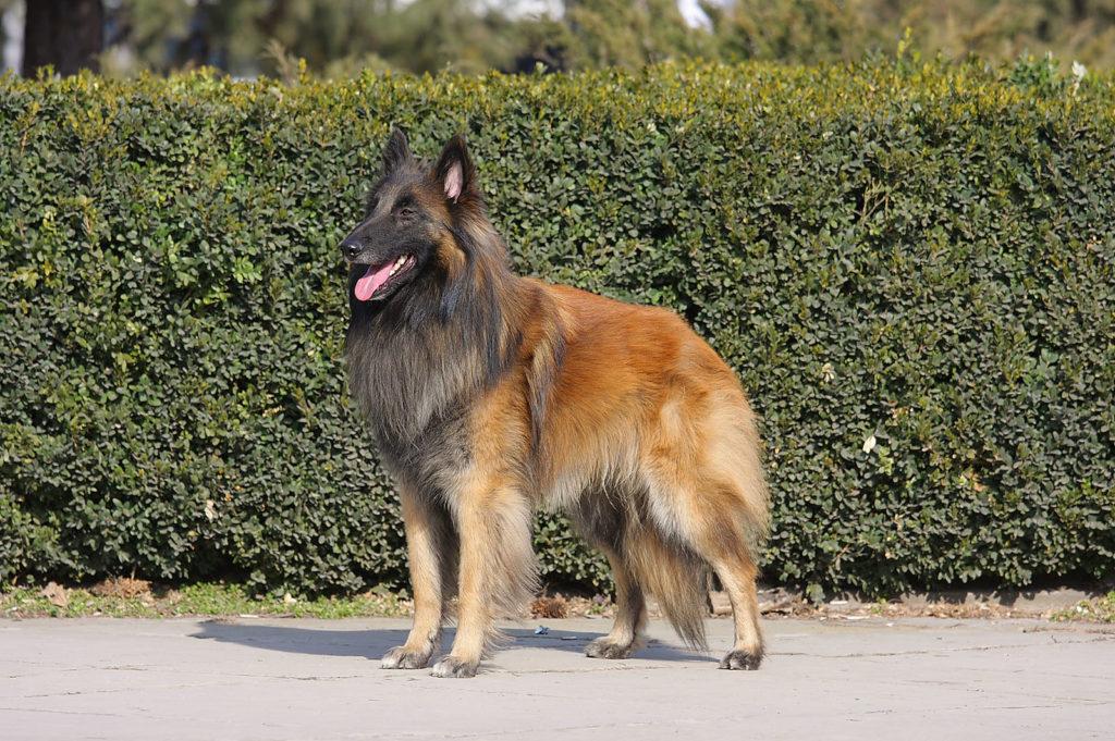Tervyuren 1024x681 - Бельгийские овчарки: виды и фото собак