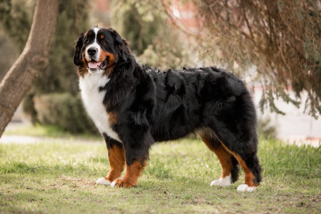 berner sennenhund 1 1024x683 - Бернский зенненхунд: фото и описание породы