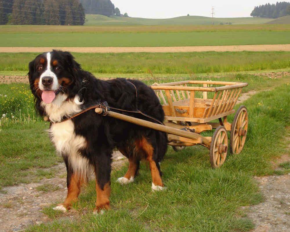 berner sennenhund 10 - Бернский зенненхунд: фото и описание породы
