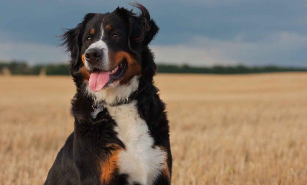 berner sennenhund 4 1024x618 - Бернский зенненхунд: фото и описание породы