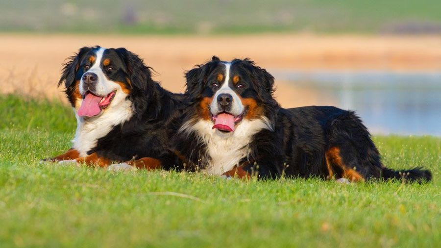 berner sennenhund 5 - Бернский зенненхунд: фото и описание породы