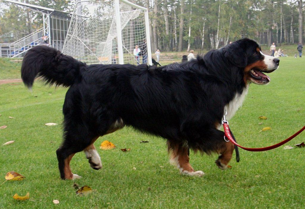 berner sennenhund 8 1024x702 - Бернский зенненхунд: фото и описание породы