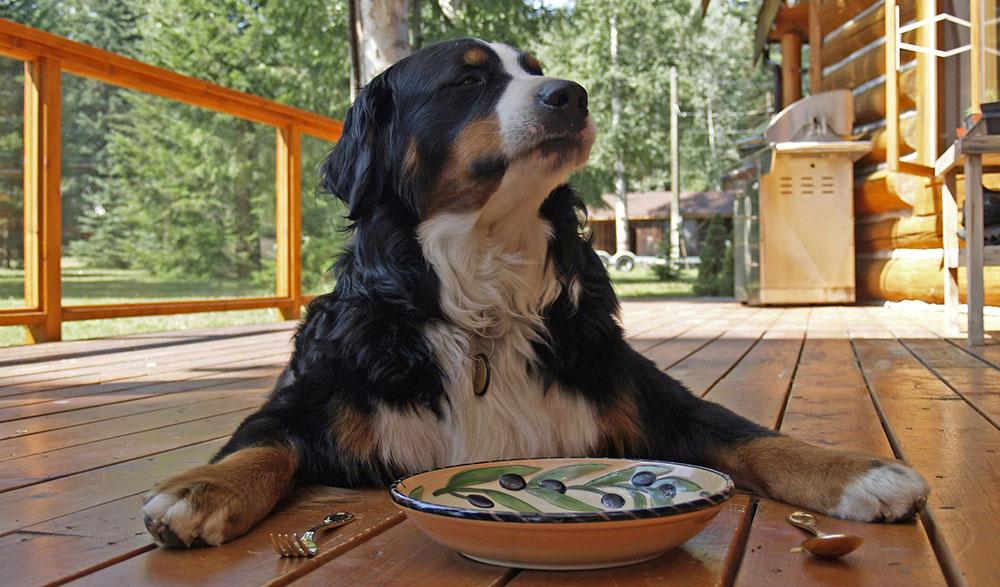 berner sennenhund 9 - Бернский зенненхунд: фото и описание породы