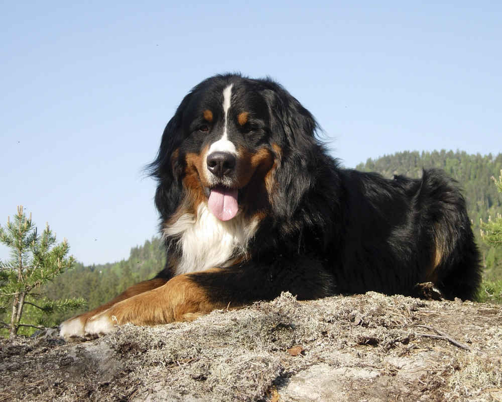 berner sennenhund - Бернский зенненхунд: фото и описание породы