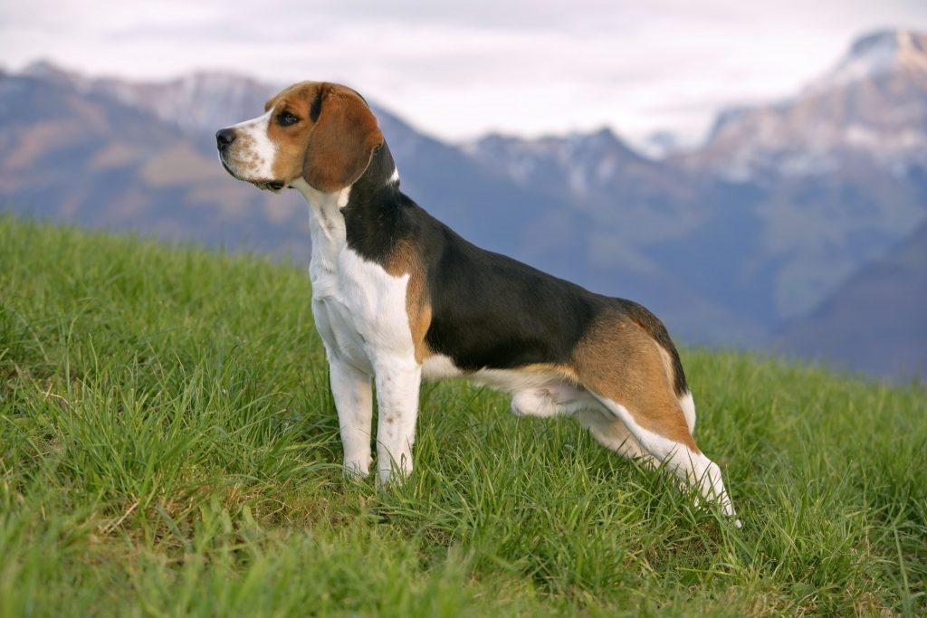 bigl 2 1024x683 - Эстонская гончая и бигль: отличия и схожесть собак