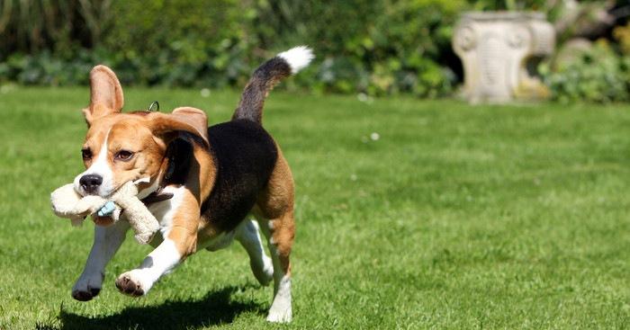 Содержание собаки породы bigl