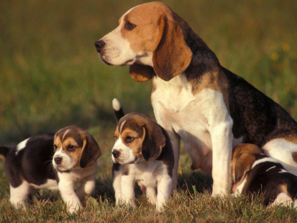 Собака бигль с щенками.