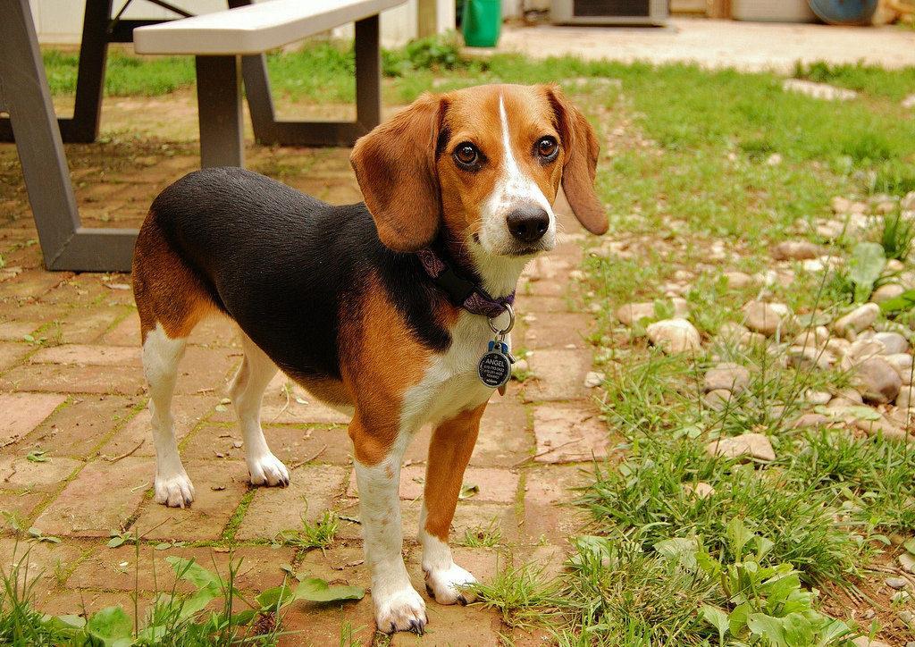 Описание охотьнечьей породы собак из Англии.